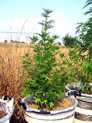 Marihuana Sativa,Indica y Rudelaris 4