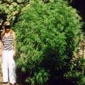 Tutorial de cultivar marihuana
