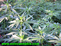 Cultivo y Cosecha de Marihuana (Primera parte)